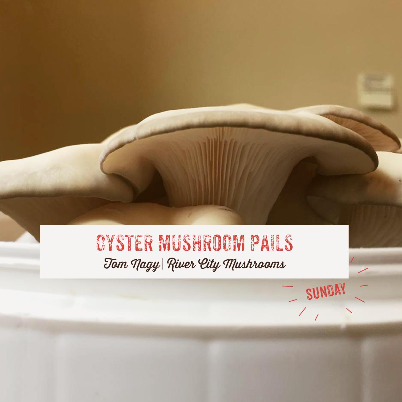 Oyster Mushroom Pails